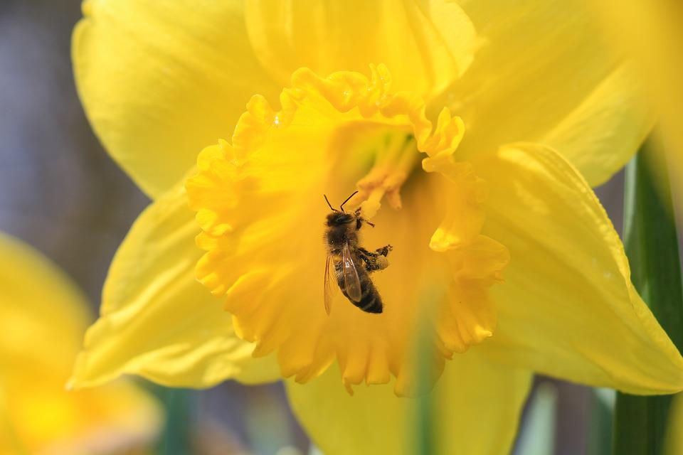 Nature, Flower, Plant, Narcissus Pseudonarcissus, Bee