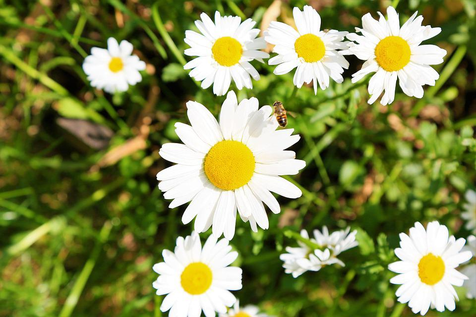 Daisy, Flower, Spring, Nature, Bee, White, Plant