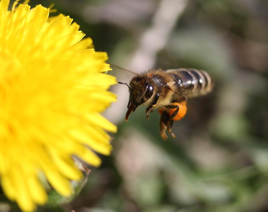 Dandelion, Bee, Flight, Yellow, Pollen, Insecta