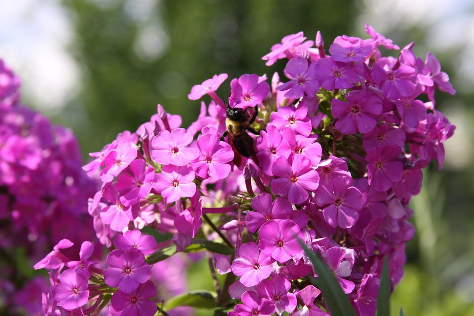 Flowers, Bee, Bumblebee, Nature, Insect, Pollinating