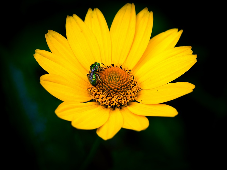 Flower, Pollinator, Insects, Bee, Marguerite, Foraging