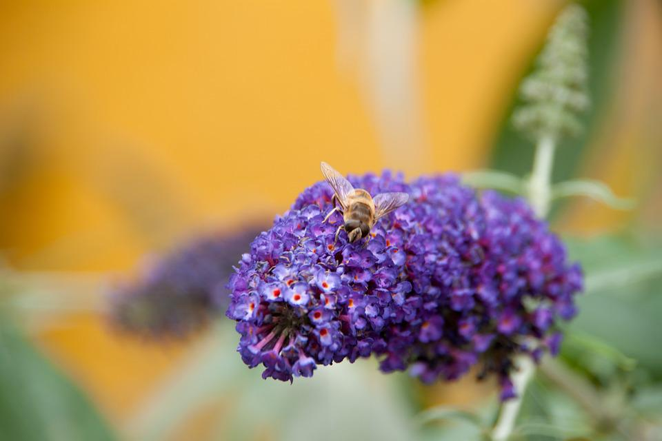 Bee, Garden, Purple