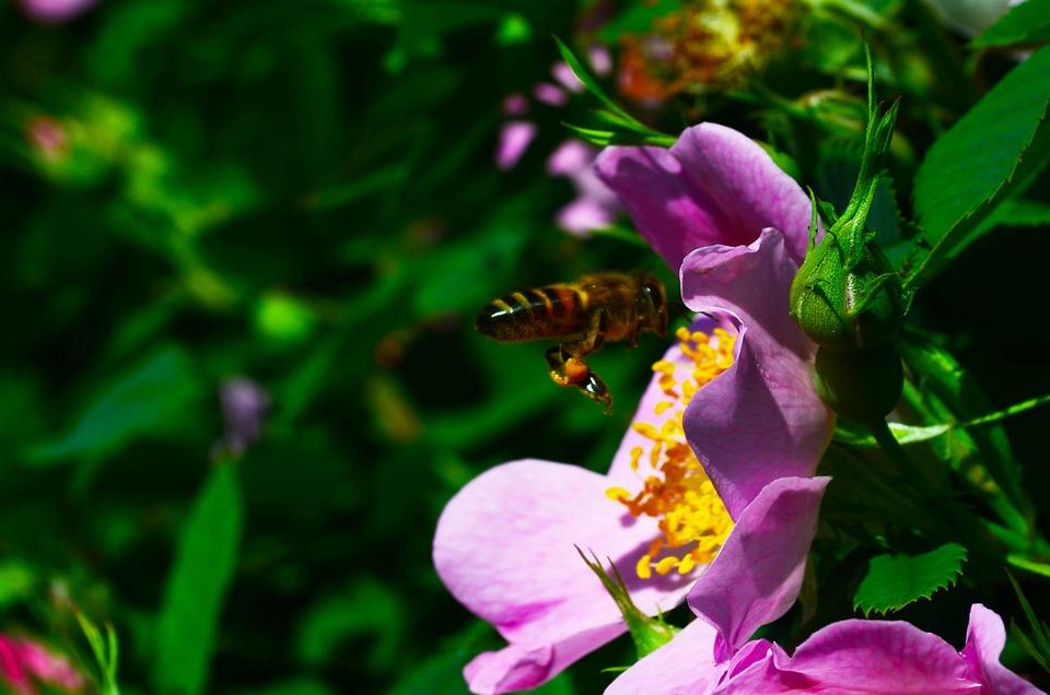 Bee, Flower, Rose Hip, Flight