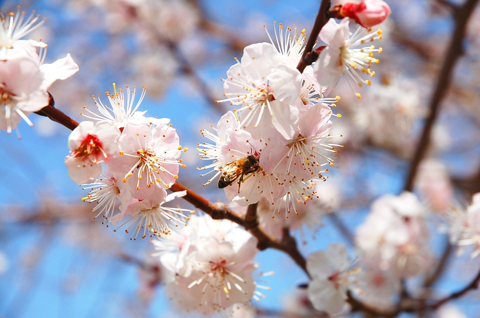 Spring, Flowers, Plum, Bee, Bright, Park, Nature