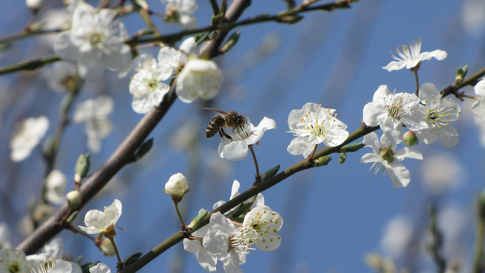 Blossoming Plum, Mirabelka, Bee, Pollination, Spring