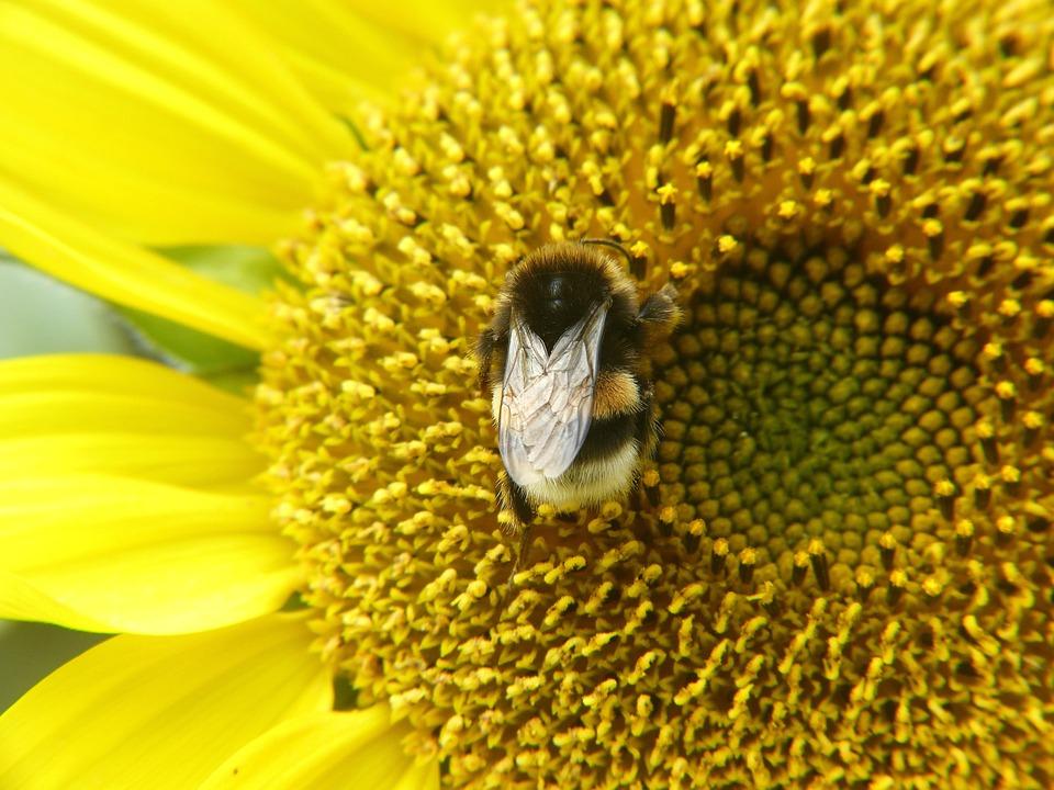 Sun Flower, Bee, Yellow, Plant, Summer, Flower, Blossom