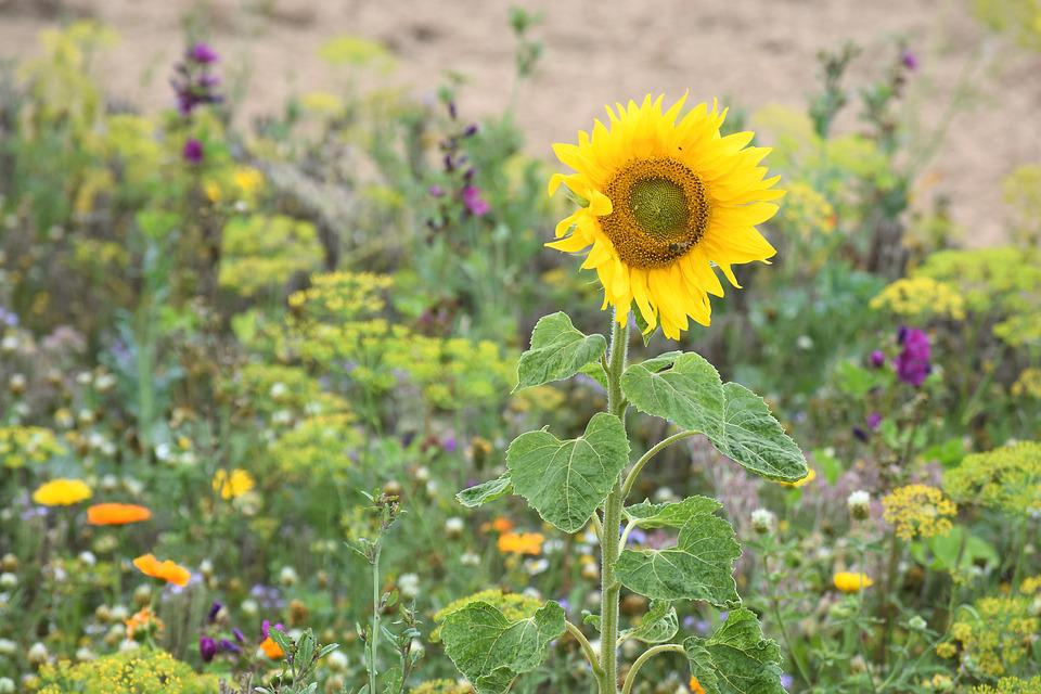Blührandstreifen, Sunflower, Bee