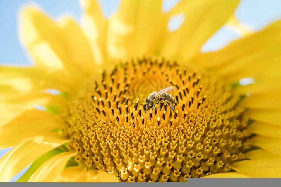 Sunflower, Bee, Pollinate, Pollen, Pollination
