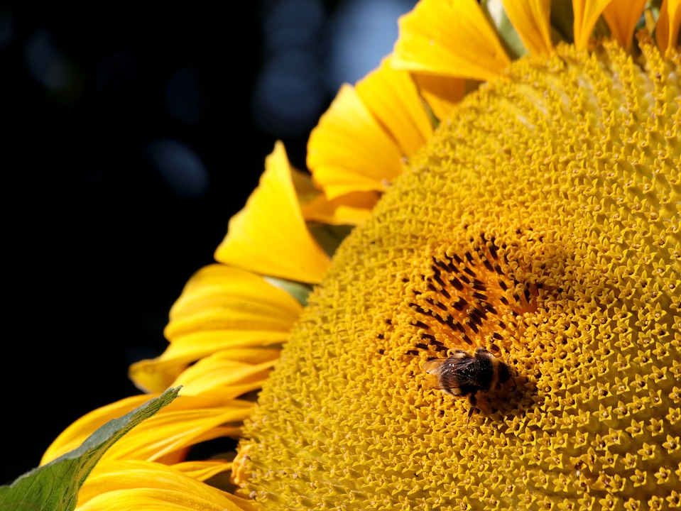 Bee, Sunflower, Bee Sunflower, Bloom, Yellow, Sunny