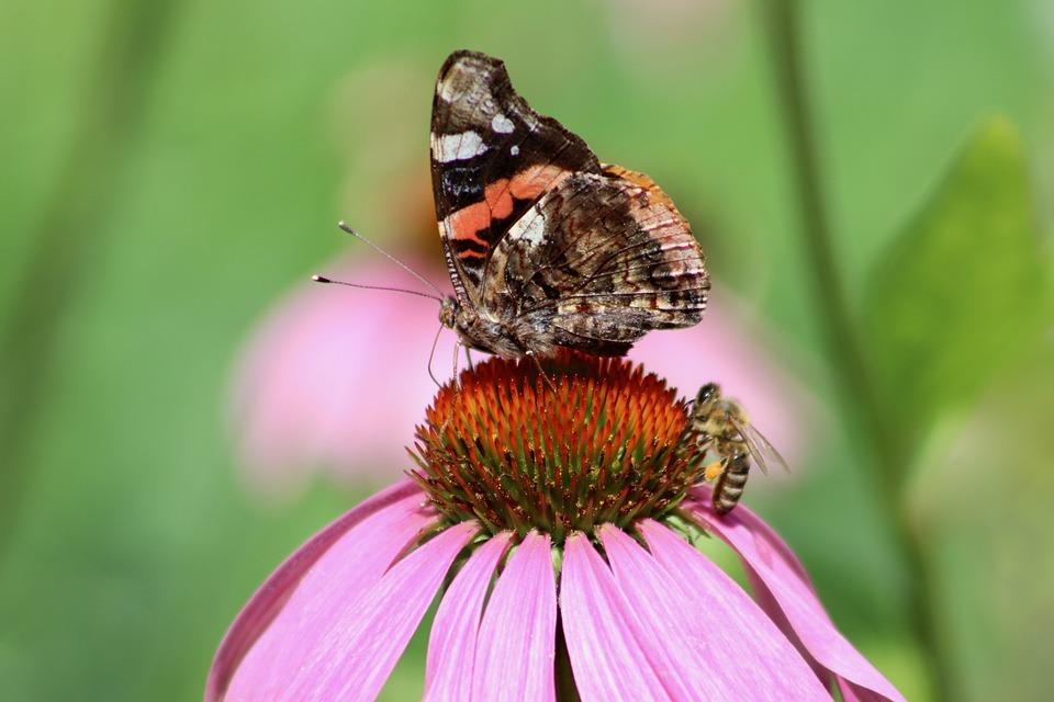 Admiral, Butterfly, Bee, Vanessa Atlanta, Honey Bee