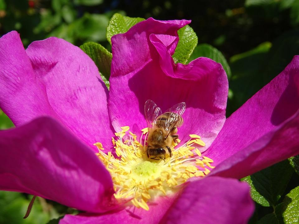 Flower, Bee, Wild Rose