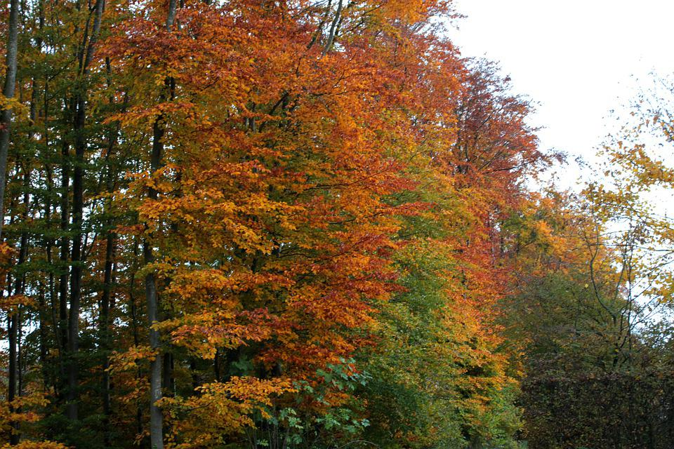 Autumn, Forest, Beech, Colorful, Fall Colors, Trees