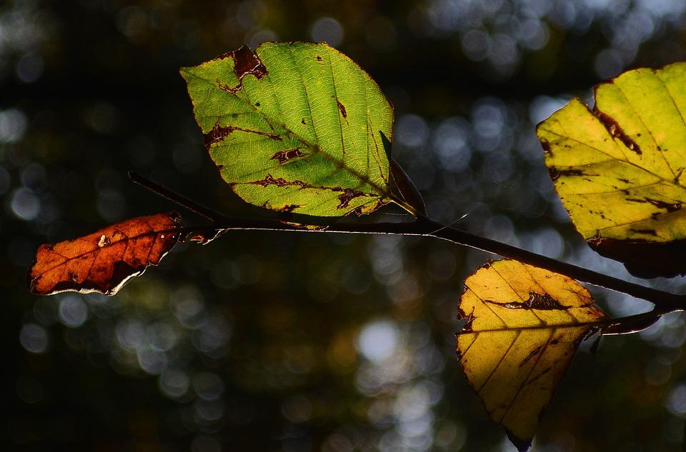 Beech, Leaves, Branch, Forest, Autumn, Tree, Fall