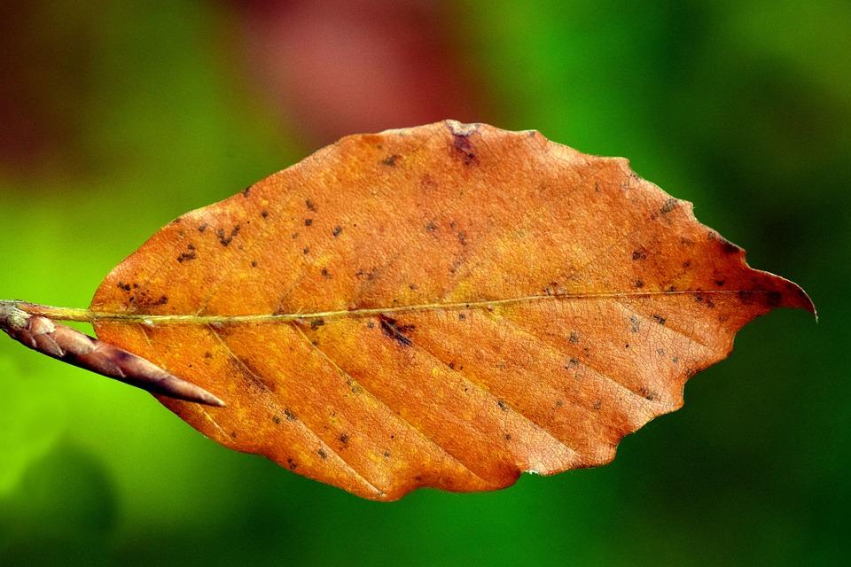 Leaf, Beech, Beech Leaf, Autumn, Dry, Close, Brown