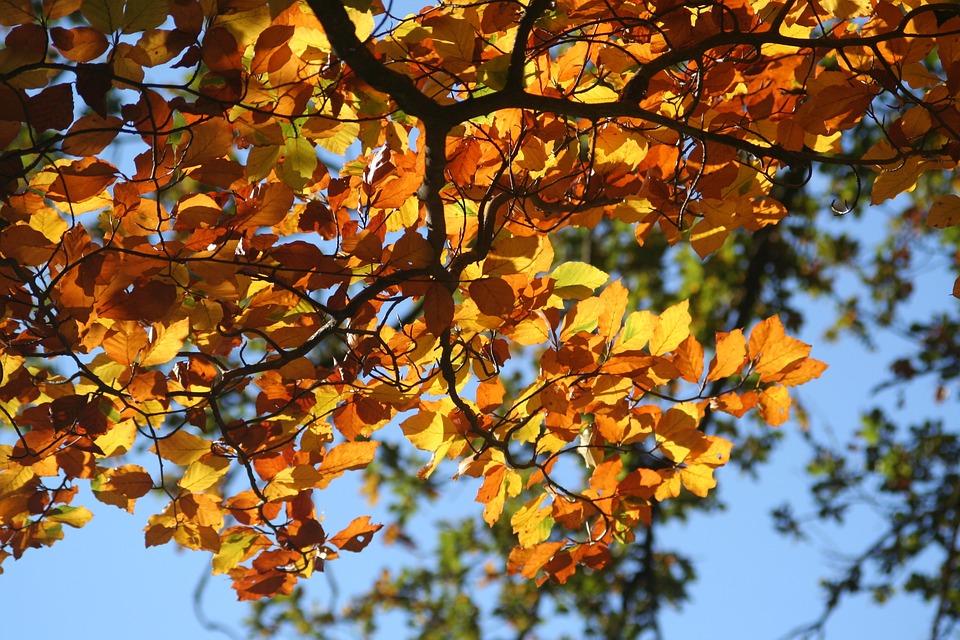 Fall Foliage, Colorful Leaves, Beech