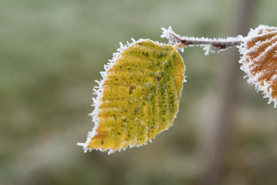 Frost, Beech Leaf, Leaf, Fall Leaves