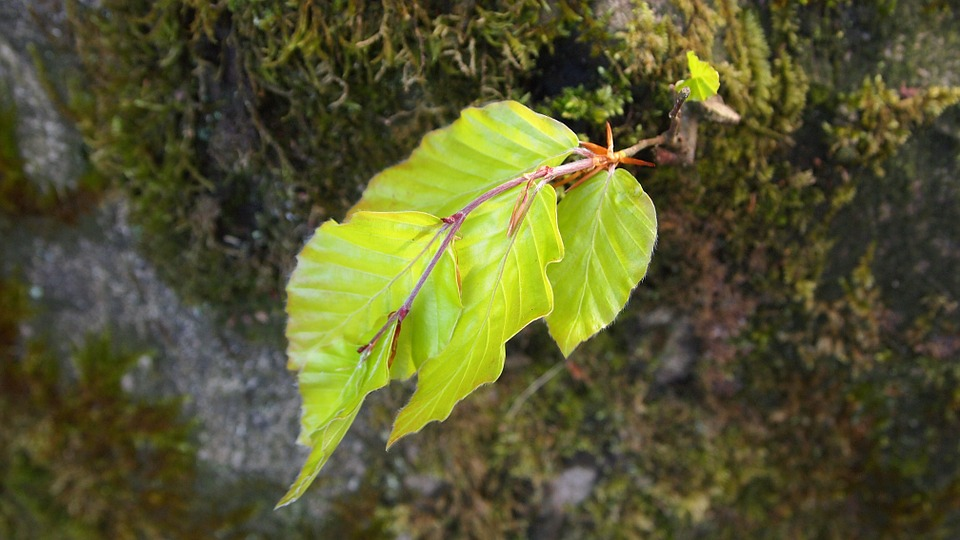 Spring, Beech Leaf, Moss, Tree Trunk