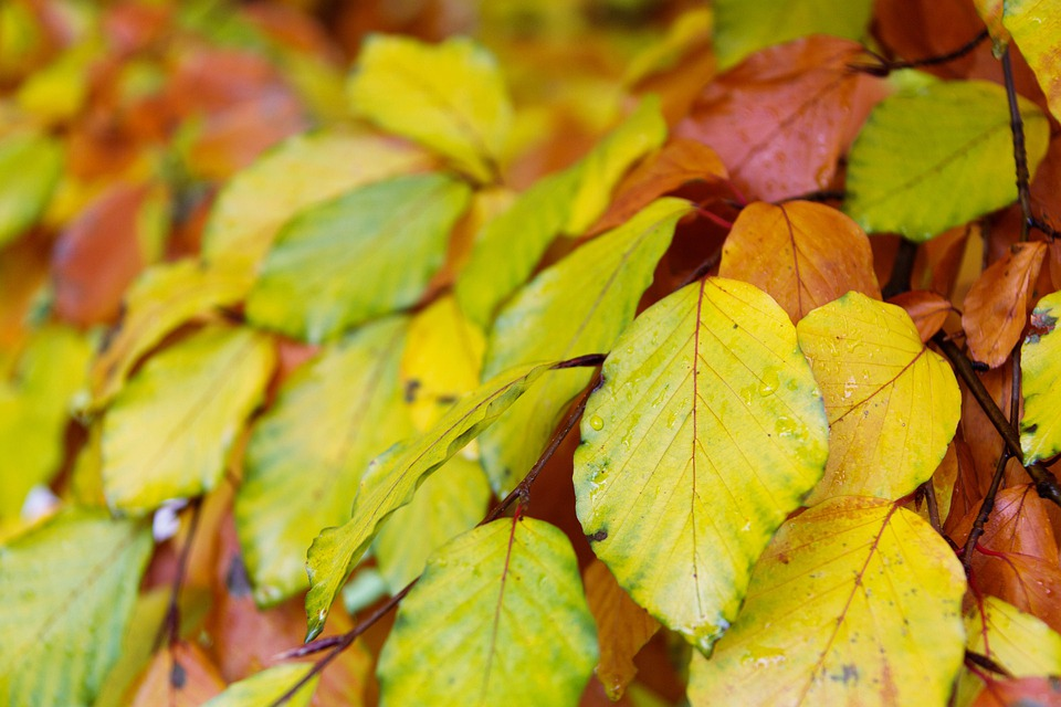 Autumn, Beech, Leaves, Branch, Brown, Color, Colorful