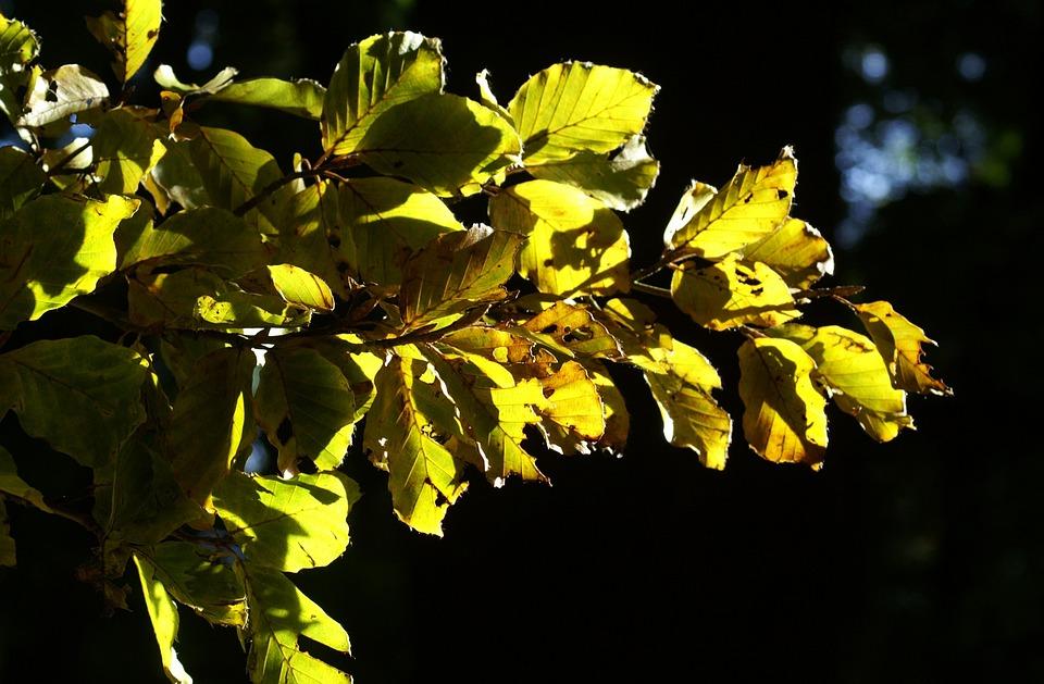 Autumn, Leaves, Beech, Gold, Green, Back Light, Leaf