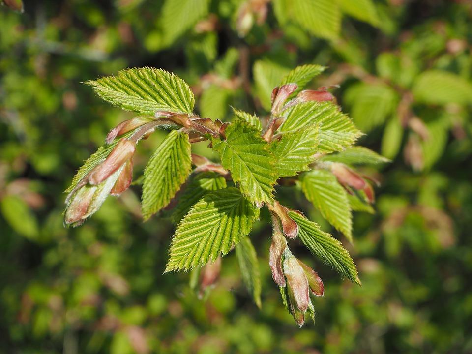 Beech, Spring, Sunny, Beech Leaves, Leaves, Green