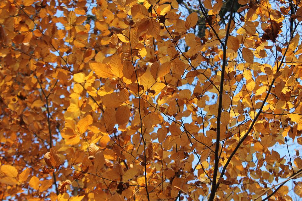 Beech, Brown, Autumn, Leaves, Fall Color, Fall Foliage