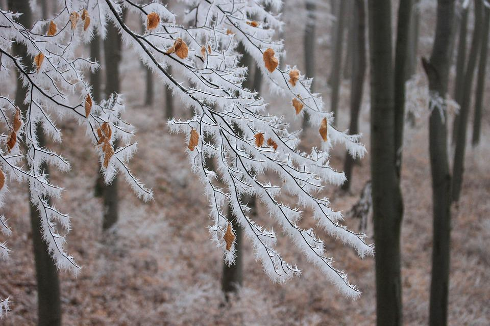 Hoary Rime, Beech, Nature, Snowy, Forest, Winter