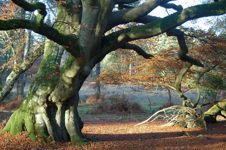 Beech Tree, Old, Tree, Autumn, Forest, Foliage, Leaves