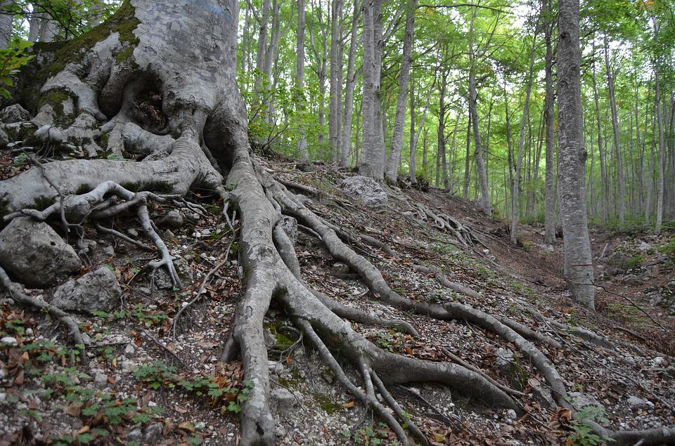 Root, Beech, Beech Wood, Underwood, Forest, Trees