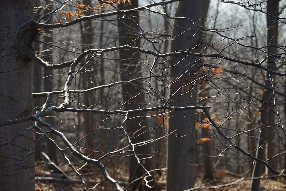 Branches, Forest, Aesthetic, Beech Wood, Beech, Trees