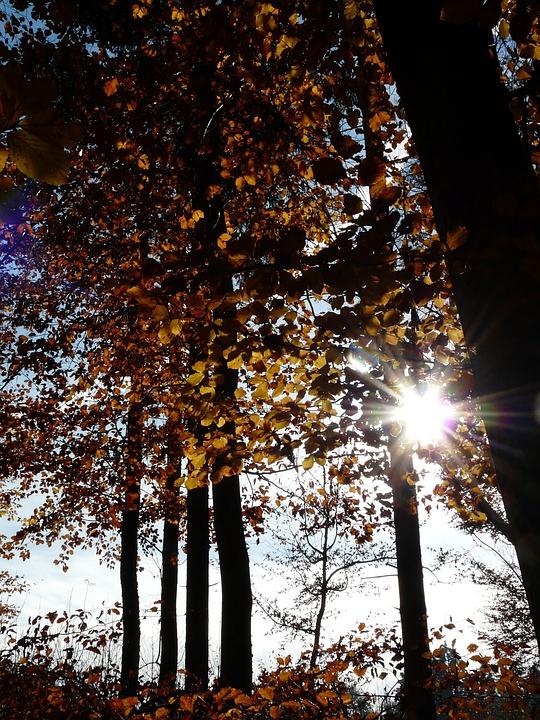 Beech Wood, Beech, Fagus Sylvatica, Fagus