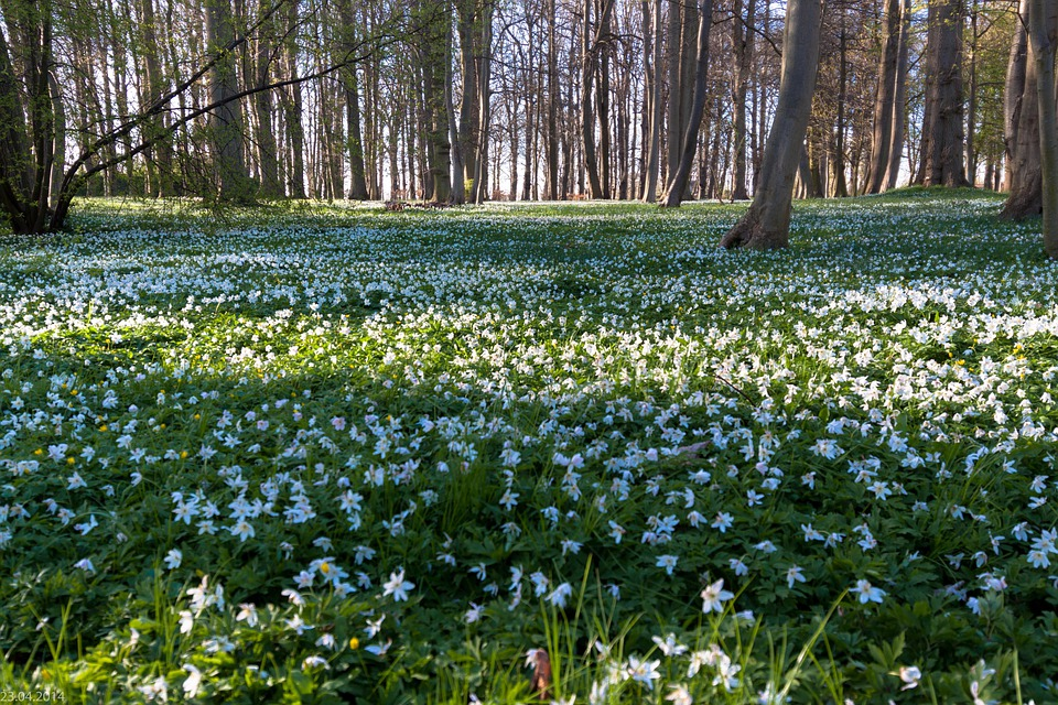 Wood Anemone, Flower Meadow, Forest, Beech Wood