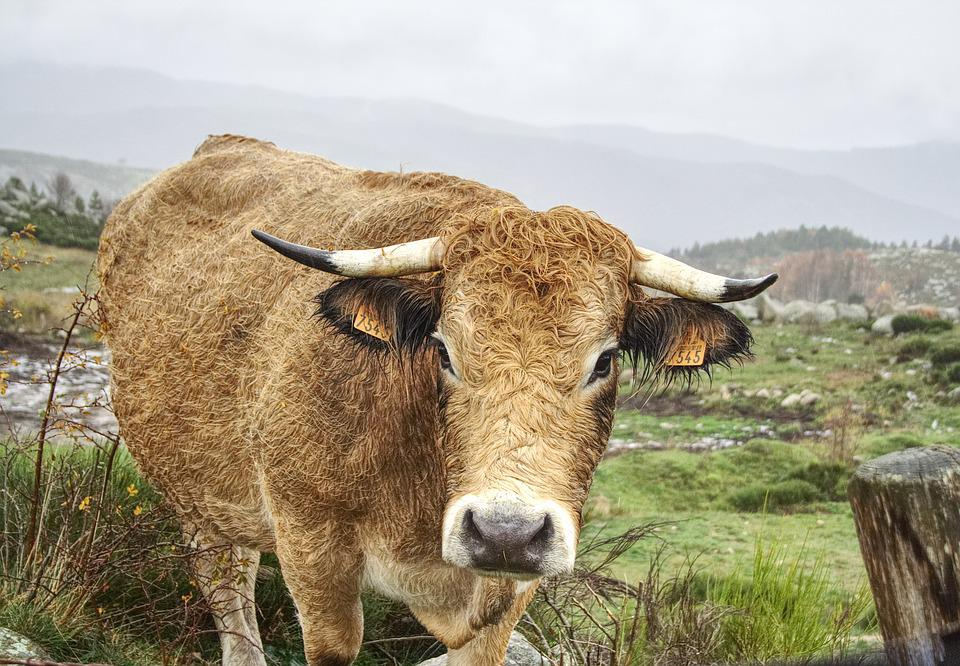 Cow, Field, Agriculture, Beef, Horns, Cattle, Livestock