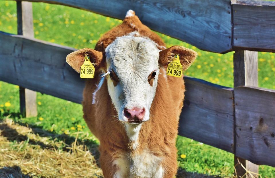 Calf, Cow, Beef, Ruminant, Young Animal, Livestock