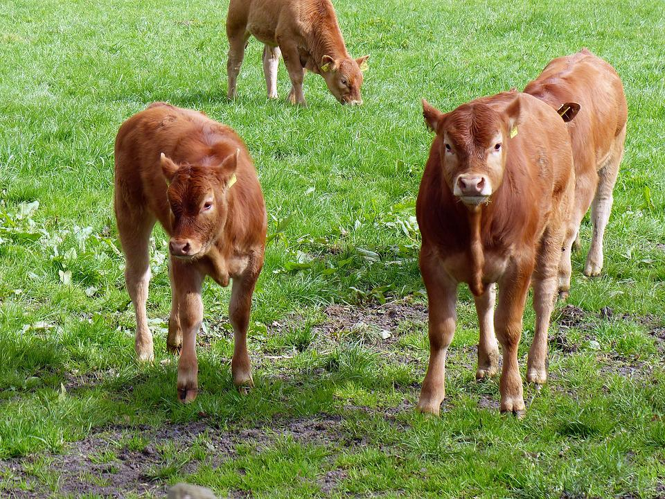 Calf, Beef, Young Calf, Wildlife Photography, Brown