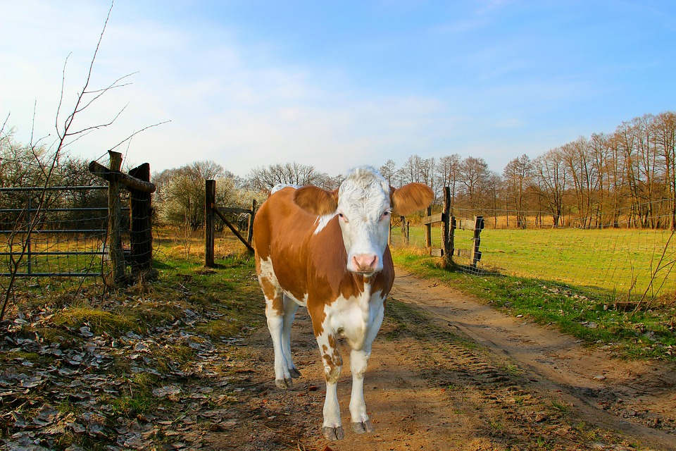 Cow, Coupling, Away, Beef, Agriculture, Livestock