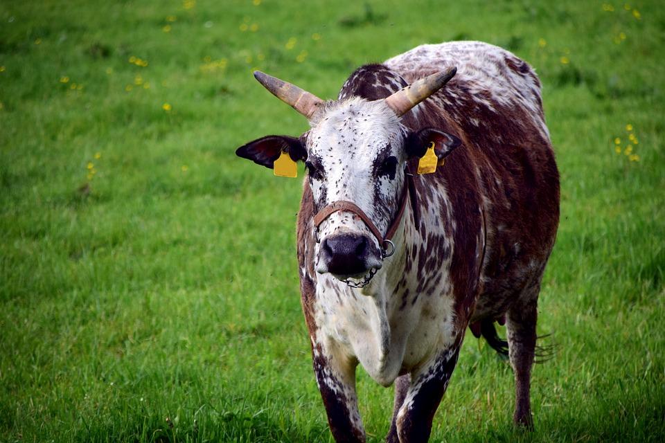 Zebu, Cow, Beef, Agriculture, Pasture Attitude