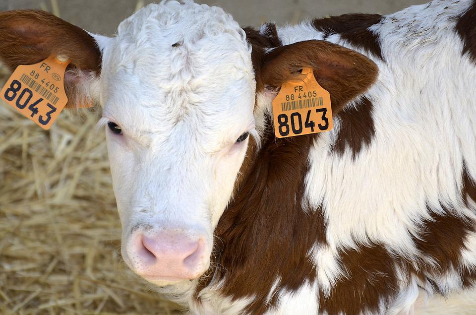 Calf, Farm, Bio, Cow, Beef, Agriculture, Livestock