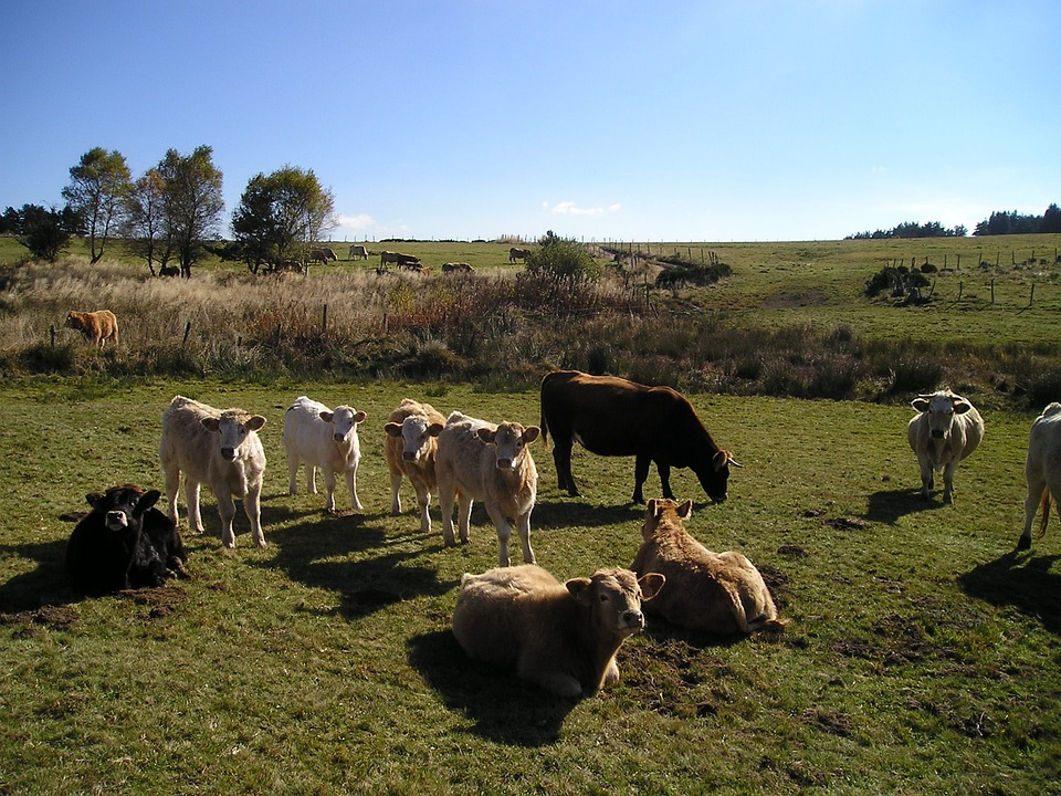 Cows, Cattle, Nature, Beef, Livestock