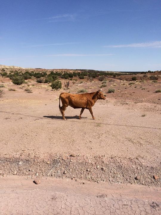 Cow, Cattle, Desert, Livestock, Beef