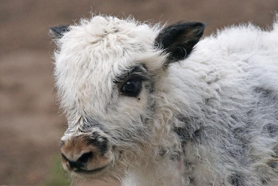 Yak, Beef, Highland Beef, Mongolia, Himalayas