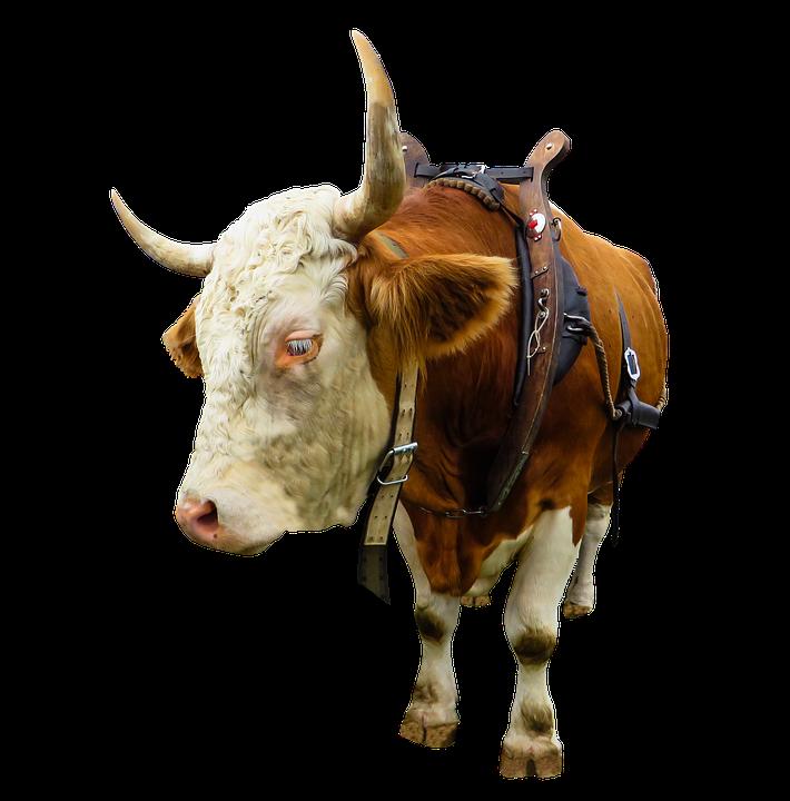 Animal, Cow, Ox, Beef, Isolated, Yoke, Farm