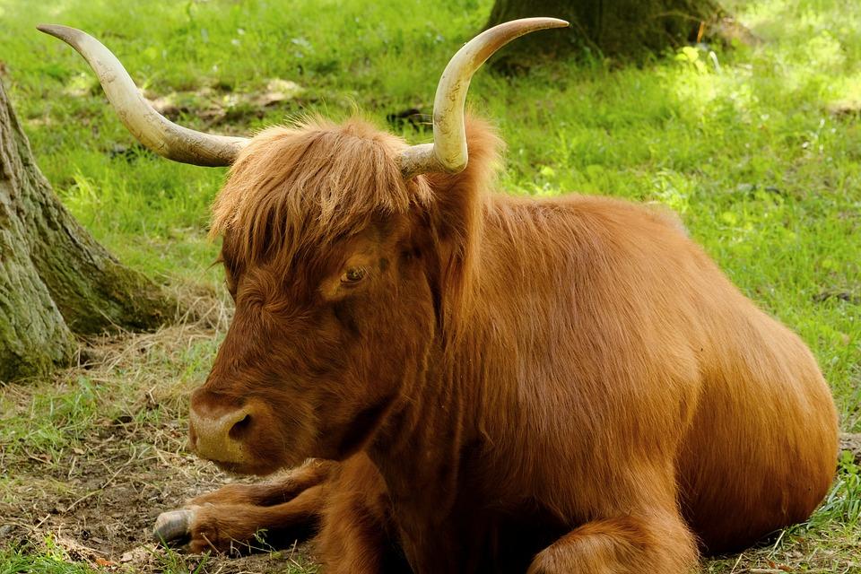 Beef, Scottish Hochlandrind, Animal, Shaggy, Pasture