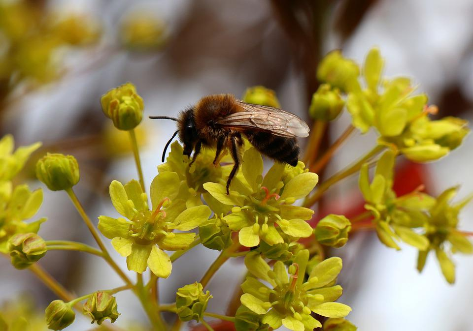 Blossom, Bloom, Honey Bee, Bees, Honey Bees, Pollen