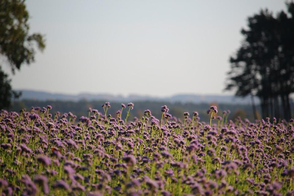 Landscape, Bees, Phacelia, Lighting, Field, Nature