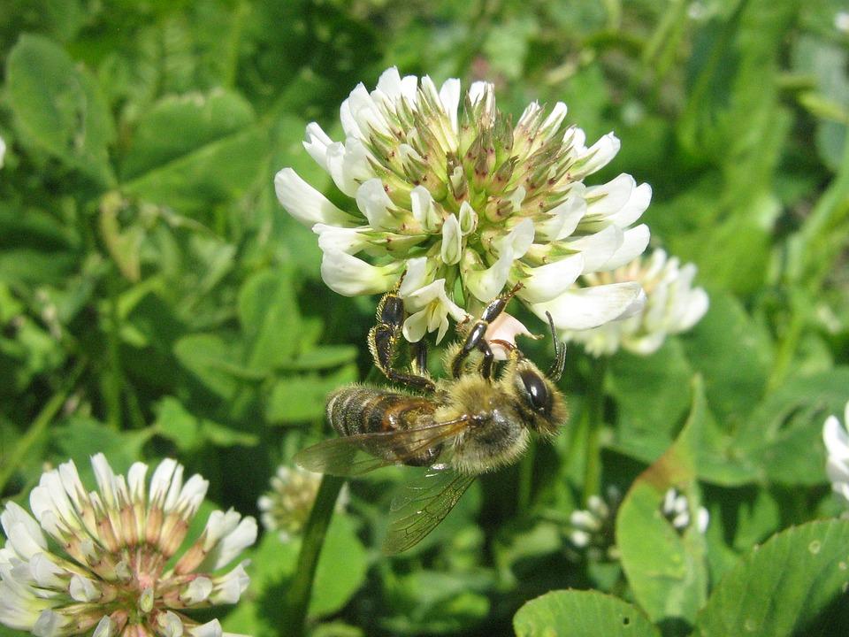 Bee, Flower, Szupermakró, Pollen, Bees To Obtain Nectar