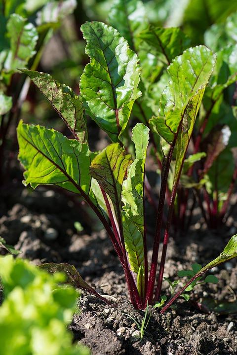 Beetroot, Beet, The Edge, Foxtail Plant, Garden