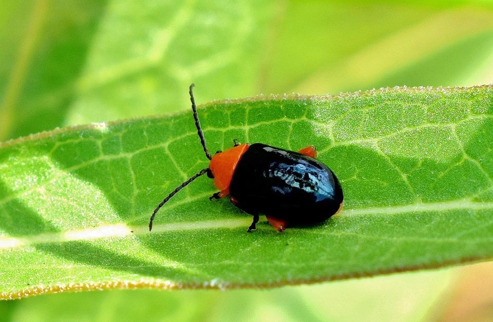 Shiny Flea Beetle, Beetle, Bug, Insect, Creature