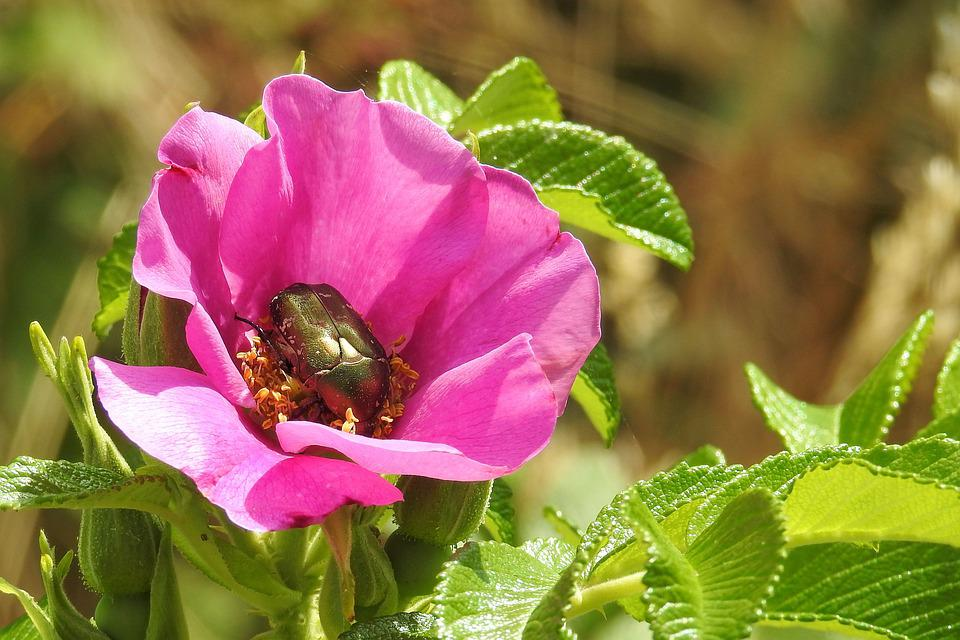 Wild Rose, Pink, Blossom, Bloom, Insect, Beetle, Bush
