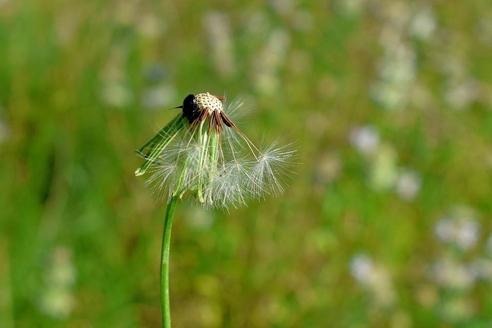 Dandelion, Spores, Seeds, Blow, Blowing, Beetle