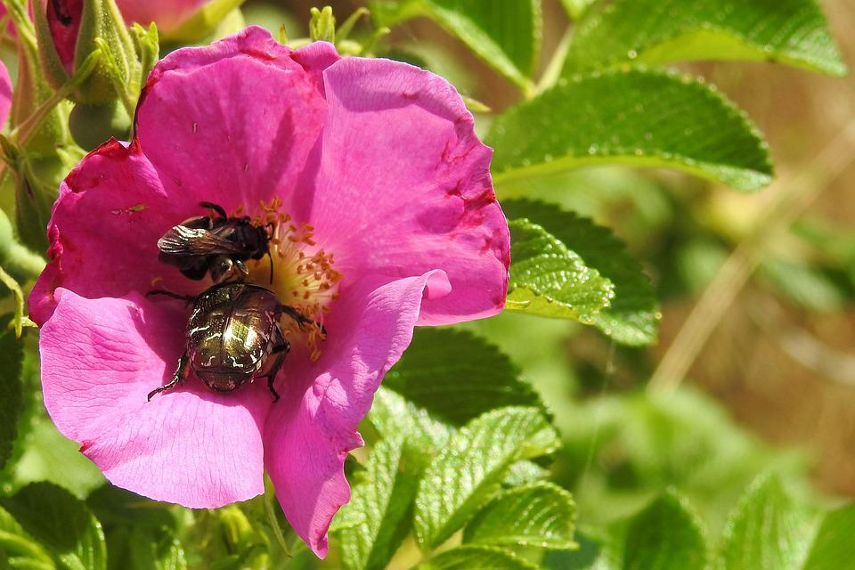 Wild Rose, Blossom, Bloom, Pink, Insect, Beetle, Hummel